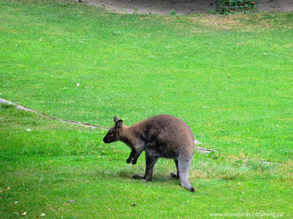 Kangaroo in Paris