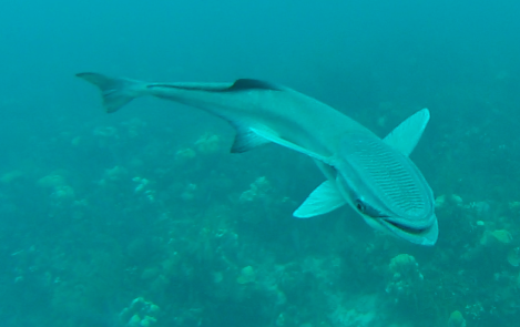 Remora In Belize City