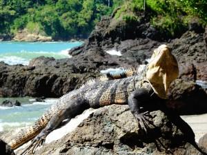 manp.iguana